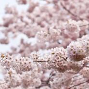 Fragrance Fleur de Cerisier Japonais