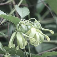 Fragrance Ylang Ylang