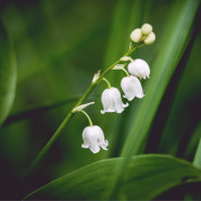 Fragrance Muguet