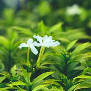 Fragrance Jasmin des îles
