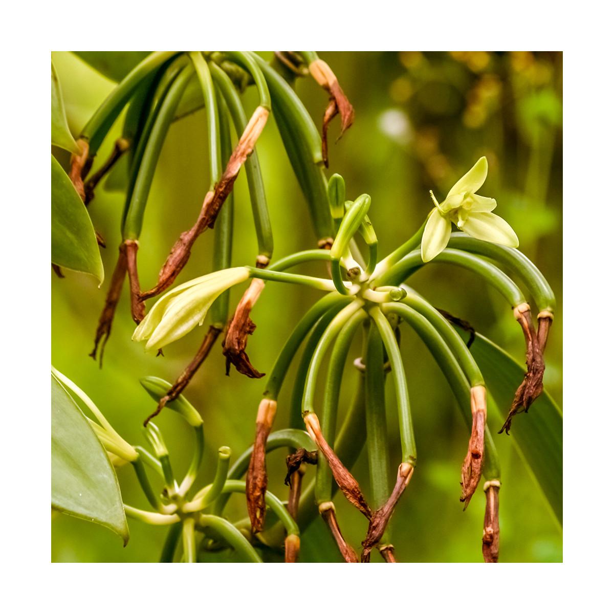 Fragrance Vanille de Tahiti