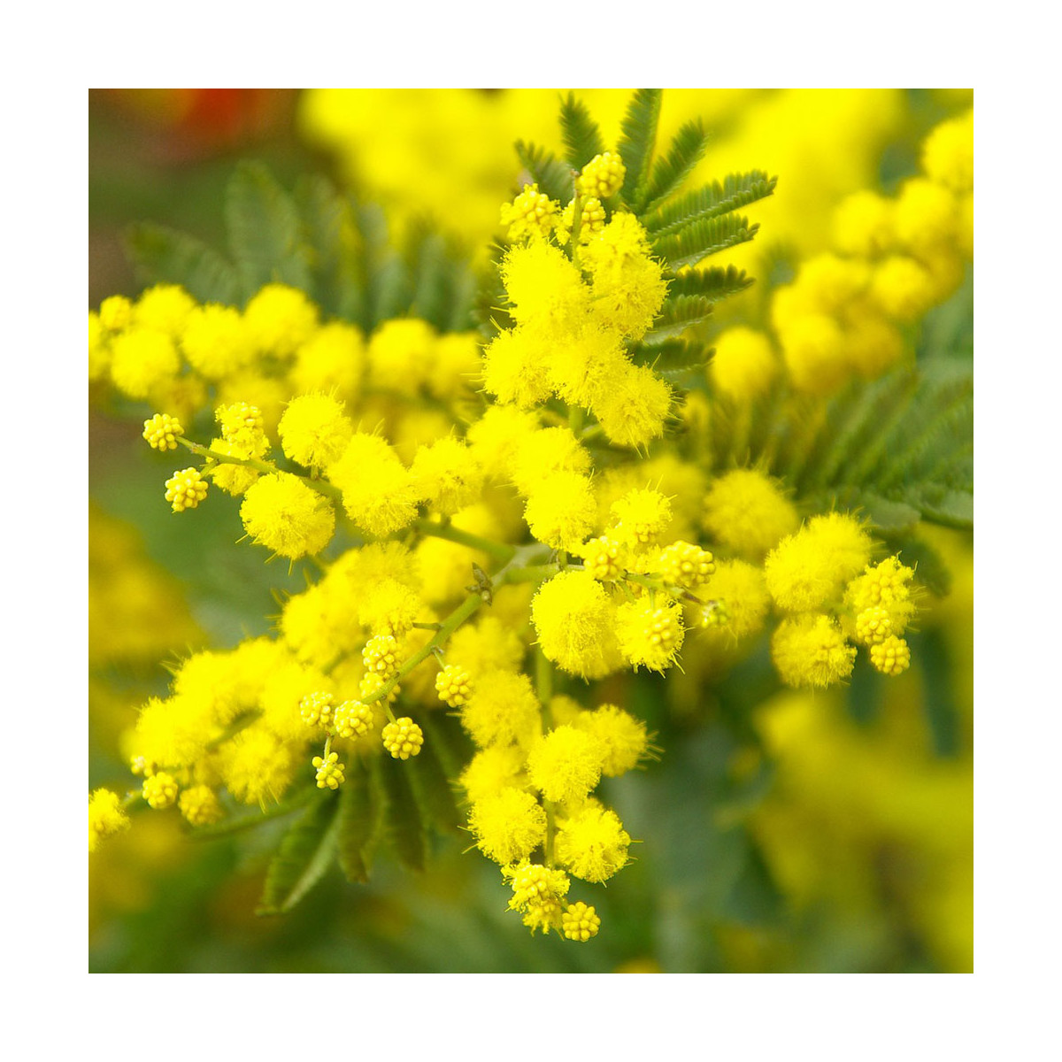 Fragrance Mimosa