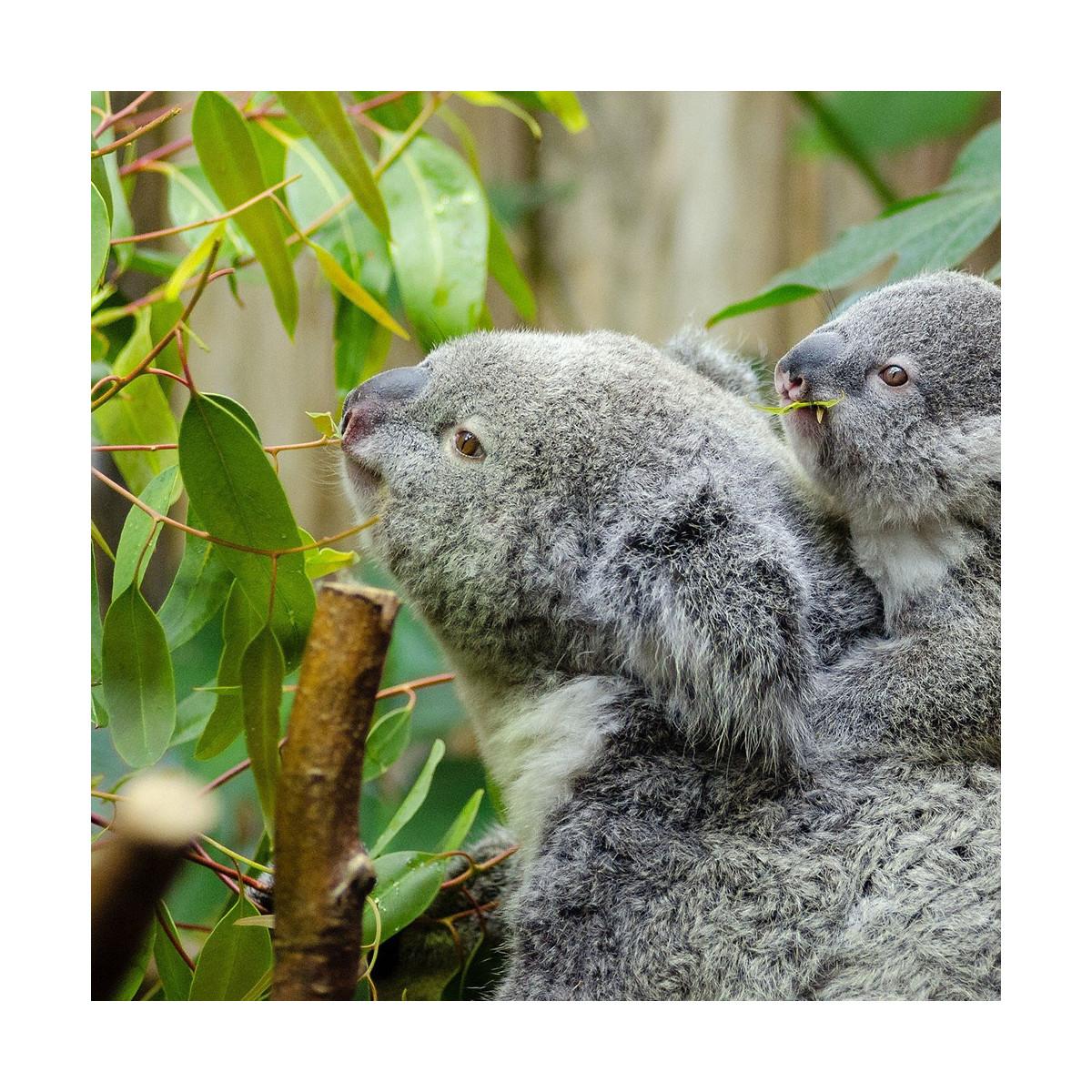 Fragrance Eucalyptus (Grasse) Sans allergène