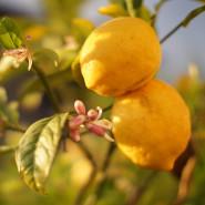 Fragrance Fleur de citronnier